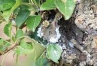 FOT. 10a. Bawełnica korówka na pniu jabłoni...