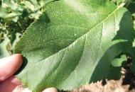 FOT. 3. Objawy parcha jabłoni z infekcji pierwotnych