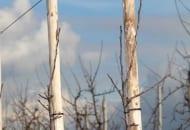 FOT. 2. Cięcie górnej części korony młodych drzewek polega na usunięciu pędów konkurujących z przewodnikiem