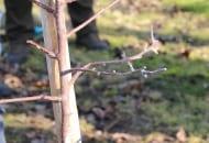 FOT. 3. Pędy boczne na młodym drzewku należy nieznacznie skrócić, aby pobudzić je do wzrostu
