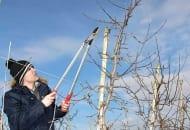 """FOT. 4a. Przewodnik przed cięciem na """"klik"""" w obrębie jednorocznego drewna, usunięciem pędów konkurujących"""