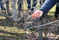 FOT. 5b. W następnym roku ten przyrost należy skrócić w obrębie drewna jednorocznego 2–3 cm od nasady