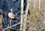 FOT. 6. Silne gałęzie boczne należy wyciąć na czop niezależnie od ich położenia w koronie