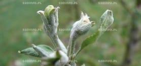 FOT. 1a. Objawy mączniaka jabłoni z infekcji pierwotnych na pąkach kwiatowych