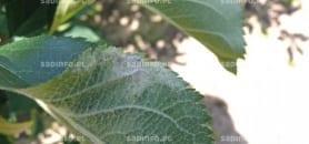 FOT. 2b. Objawy mączniaka z infekcji wtórnych na brzegu blaszki liściowej