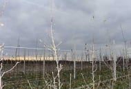 FOT. 2a. W najmłodszych kwaterach jabłonie przywiązywane są bezpośrednio do drutów w konstrukcji wężykami sadowniczymi