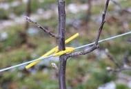 FOT. 2b. W najmłodszych kwaterach jabłonie przywiązywane są bezpośrednio do drutów w konstrukcji wężykami sadowniczymi