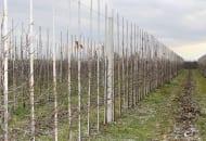FOT. 3. Paliki są montowane wówczas, gdy drzewka wejdą w pełnię owocowania