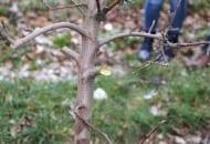 FOT. 5. Zbyt grube gałęzie wycinane są na czop