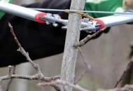 FOT. 9a. Nacinanie sekatorem kory na przewodniku służy stymulacji wybijania nowych pędów