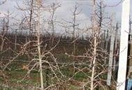 FOT. 12a. Sześcioletnia jabłoń odmiany 'Szampion' przed cięciem