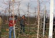 FOT. 12b. Sześcioletnia jabłoń odmiany 'Szampion' po cięciu