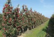FOT. 13. Obłożenie owocami jabłoni w sadzie W. Mazura