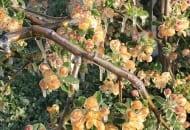 FOT. 3. Zbyt mała ilość wody lub przerwa wzraszaniu nie uchroniła kwiatów przed uszkodzeniem przez przymrozki wiosenne