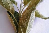 FOT. 2a. Pordzewiacz jabłoniowy: uszkodzenia na liściach