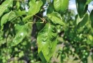 FOT. 3. Podskórnik gruszowy – uszkodzone liście