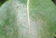 FOT. 4. Liść gruszy uszkodzony przez przędziorki