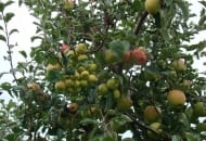 Fot. 10. Zawiązki uszkodzone przez mszycę jabłoniowo-babkową pozostają na drzewie aż do zbiorów