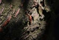 Fot. 5. Zwisające woreczki ze sprzędzionych odchodów zwójki koróweczki