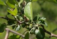 Fot. 6. Zawiązek uszkodzony przez owocnicę jabłkową