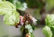 Fot. 3. Do zatrucia pszczół środkami ochrony roślin może dojść w ciągu całego sezonu ochrony, a nie tylko podczas kwitnienia.