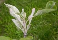 Fot. 5. Mączniak jabłoni – infekcja pierwotna
