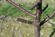 3-2011-ciecie-i-formowanie-wisni-fot.3.jpg
