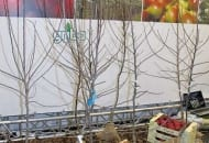 Fot. 13. Drzewka z Włoch