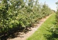 Fot. 1. Murawa i pasy herbicydowe w sadzie