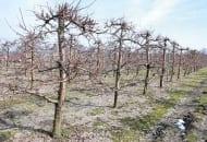 """FOT. 4. Nieprawidłowe cięcie i formowanie na tzw. """"krótkopędy"""" powoduje wyrastanie zbyt wielu pędów niepotrzebnie zagęszczających koronę drzewa"""