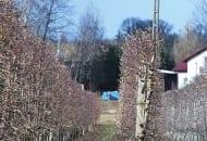 FOT. 7. Drzewa 'Šampiona' po cięciu mechanicznym w sadzie pp. Sosińskich (2011 r.)