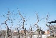 FOT. 8. Górne partie koron starszych drzew po cięciu prześwietlającym