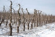 FOT. 9. Na starszych drzewach 'Idareda' po cięciu pozostały kilkuletnie pędy z dużą ilością pąków kwiatowych
