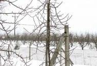 FOT. 12a. Drzewko odmiany 'Jonagold Decosta' przed cięciem