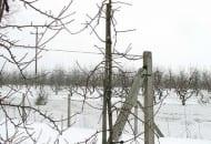 FOT. 12b. Drzewko odmiany 'Jonagold Decosta' po cięciu odnawiającym