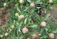 FOT. 3. Niedobór boru na owocach odmiany 'Rajka'