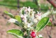 FOT. 2. Objawy infekcji pierwotnych – kwiatostan