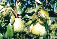 FOT. 1. Zanieczyszczenia owoców i liści wydzieliną larw miodówki gruszowej plamistej
