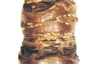 FOT. 3. Jaja miodówki gruszowej plamistej na zdrewniałym pędzie