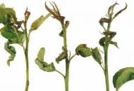 FOT. 4. Uszkodzone przez miodówkę gruszową czerwoną liście, na których można znaleźć jaja oraz wylęgające się z nich larwy