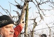 FOT. 7b. Dr Gerhard Baab informował, że z czopa nie wyrosną nowe pędy, gdy jest on zacieniony, lub cięcie prowadzono pod koniec marca
