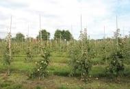 FOT. 1a. Objawy choroby replantacyjnej w sadzie: po prawej drzewka posadzone w miejscu, na którym nie rosły wcześniej drzewa owocowe