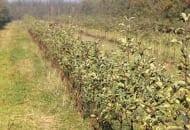 FOT. 1b. Słaby wzrost drzewek odmiany 'Šampion'/'M.26' w pierwszym roku po posadzeniu