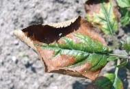 FOT. 2a. Objawy niedoboru potasu na liściach jabłoni