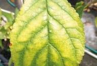 FOT. 3b. Objawy niedoboru magnezu na liściach śliwy