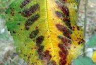 FOT. 3c. Objawy niedoboru magnezu na liściach czereśni