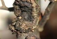 FOT. 3a. Rak drzew owocowych – wytwarzanie tkanki kalusowej efektem obronnym drzewa na przewodniku