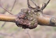 FOT. 3b. Rak drzew owocowych – wytwarzanie tkanki kalusowej efektem obronnym drzewa na pędach