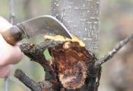 FOT. 4. W efekcie wystąpienia raka drzew owocowych destrukcji ulegają także wewnętrzne warstwy drewna
