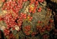 FOT. 5. Owocniki Neonectria galligena na obumarłej korze jabłoni